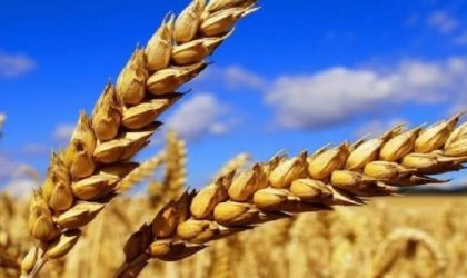 Céréales : perte de 30% de la superficie à cause de la sécheresse