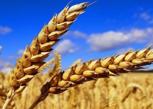 Près d'un million d'hectares semés en céréales pour la campagne 2016 ont été perdus. D. R.