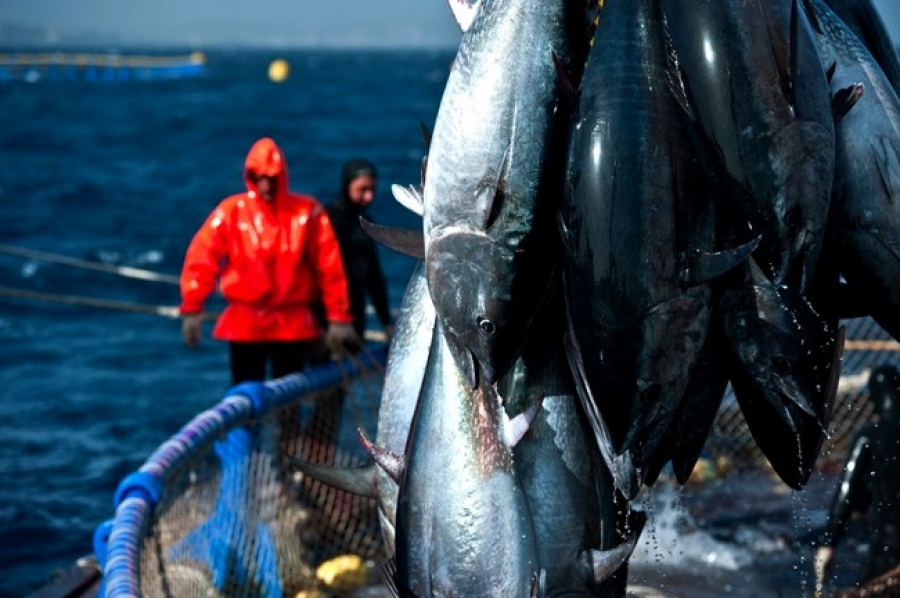 Les recettes d'exportations de thon rouge s'élèveront à près de 5 millions de dollars. D. R.