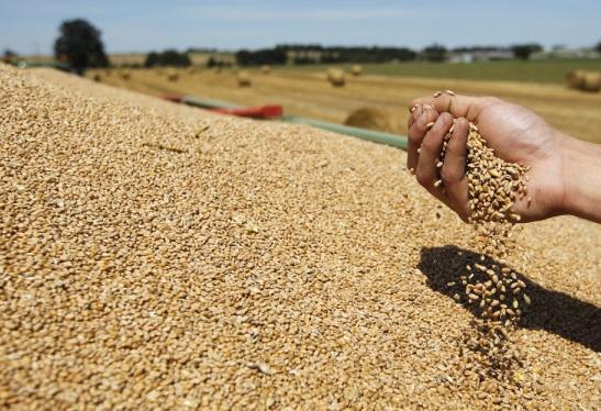 La tonne de blé est estimée entre 195,5 et 197,5 dollars la tonne. D. R.