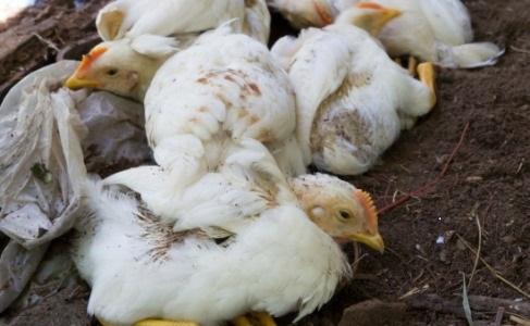 La population craint qu'il y ait propagation de ce virus pour toucher les élevages. D. R.