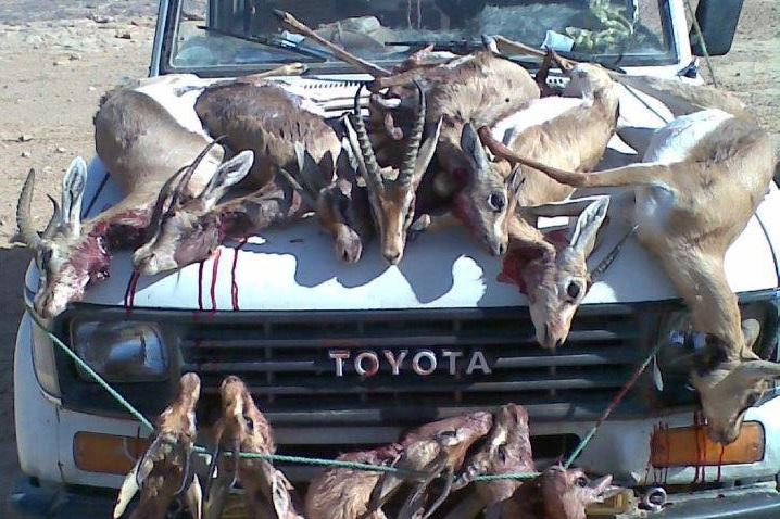 Les braconniers du Golfe massacrent notre faune avec la bénédiction de nos autorités. D. R.
