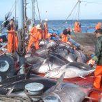 Le quota de l'Algérie a été porté à 1 046 tonnes. D. R.