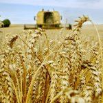 La facture d'importation du blé a reculé à 1,67 milliard de dollars. D. R.