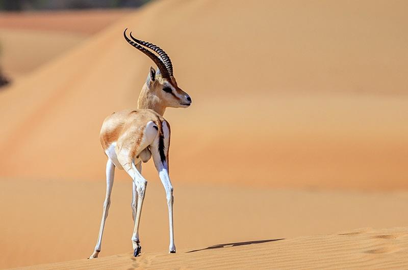 La gazelle est depuis des années la cible de braconniers venus des pays du Golfe. D. R.