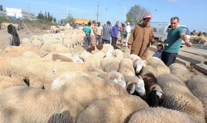 Aïd El-Adha: Alger dotée de 6 sites pour la vente directe de moutons