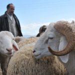 Aïd El-Adha, moutons