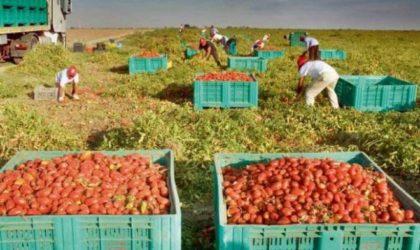Tomate industrielle à Chlef : surplus de production et manque d'unités de transformation
