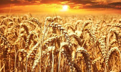 Poutine: une «récolte record» de céréales s'annonce en Russie