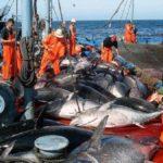 pêche de thon rouge en Algérie