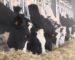 Le PDG de Soummam acquiert des fermes d'élevage à Bousaâda