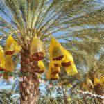 la wilaya de Biskra est devenue une référence en matière de production agricole