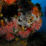 La pêche au corail est suspendue depuis 2001 en raison de pratiques illégales