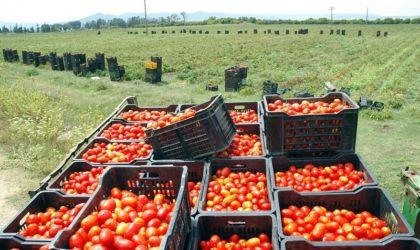 Annaba: la filière de la tomate industrielle cible une production de plus d'un million de quintaux