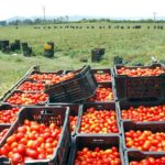 Tomates Qatar pesticides