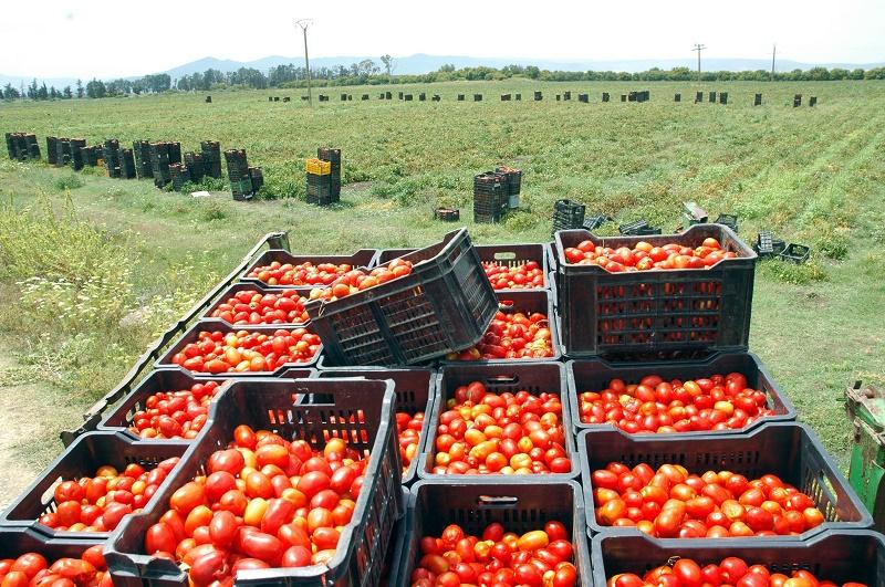 Tomates Qatar pesticides