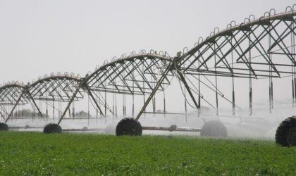 Collecte du blé par l'OAIC : des «céréales harraga»?