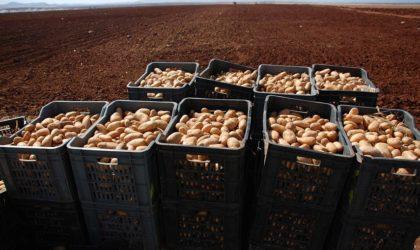 Production de pas moins de 1,5 million de tonnes de pomme de terre d'arrière-saison