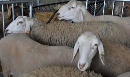 Les Tunisiens accusent les Algériens de détourner leur cheptel ovin