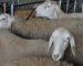 La misère au Maroc : des Marocains volent les moutons du sacrifice à Casablanca