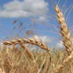blé FAO