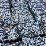 Mostaganem sardine