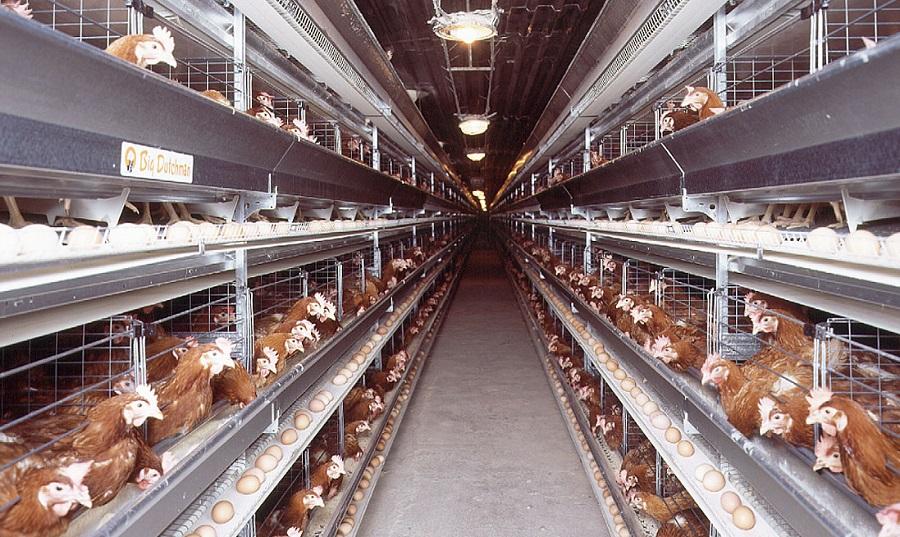 poules Ansej