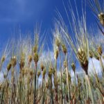 Céréales Tiaret
