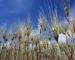 Céréales: production record durant la campagne 2017-2018
