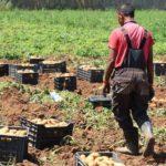 pomme de terre pesticides Russie