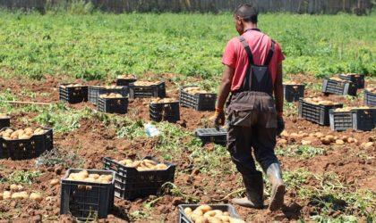 La Russie refoule des cargaisons de pomme de terre algérienne