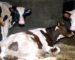 Plus de 2 400 bovins vaccinés contre la fièvre aphteuse