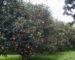 Boumerdès : arrosage des agrumes avec des eaux usées