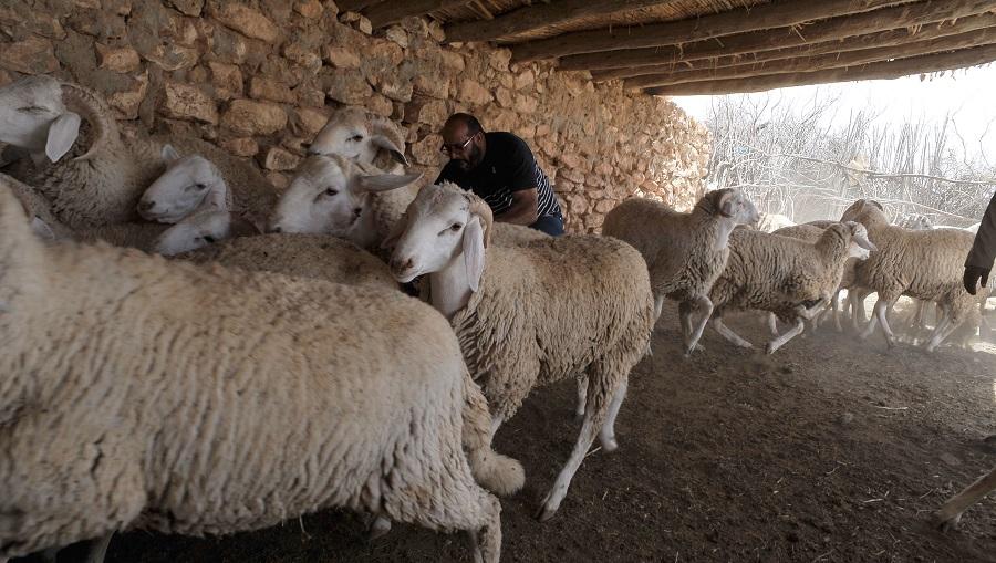 mouton peaux