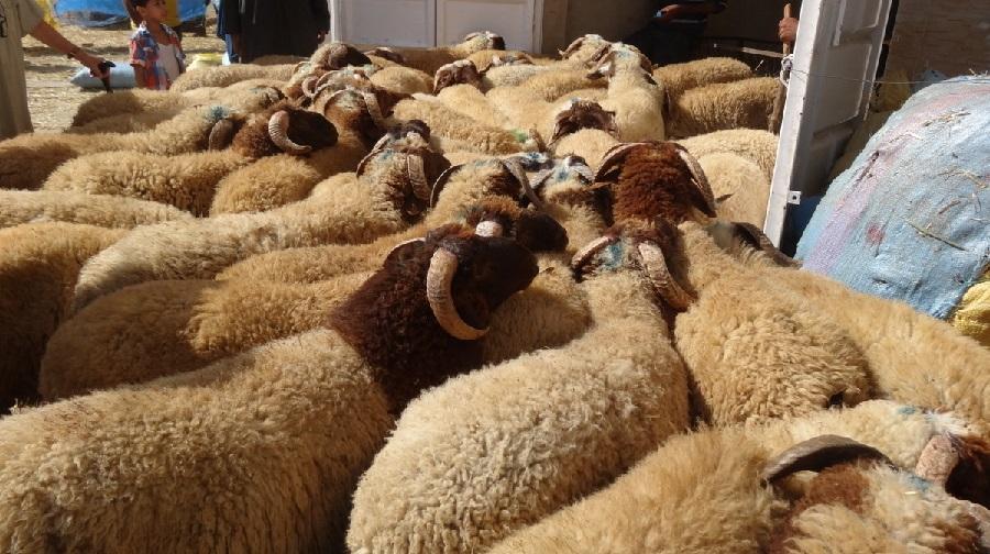 fièvre, mouton
