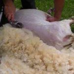peaux, moutons