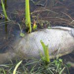 poisson mort barrage Guelma