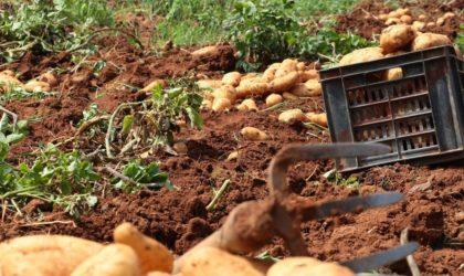 Souk Ahras : six cas d'irrigation de récoltes agricoles aux eaux usées