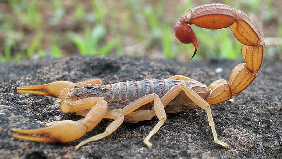 scorpion Réseau