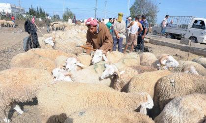 M'sila : des éleveurs réclament le vaccin contre la peste des petits ruminants