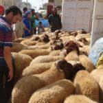 moutons Maroc