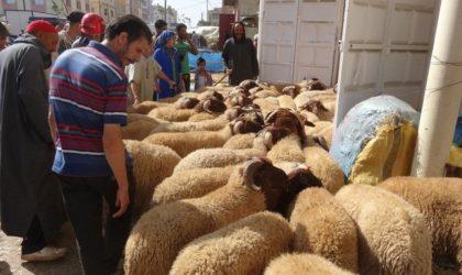 Scènes surréalistes de vol de moutons à Casablanca : le Maroc va à la dérive