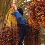 boycott dattes algériennes